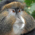 Gold, Silver and Blue Monkeys image