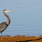 Galapagos Great Blue Heron Bird image