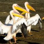 Great White African Pelican Birds image