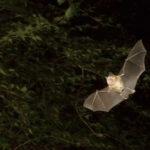 Greater Horseshoe Bat image