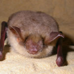 Greater Mouse-Eared Bat image