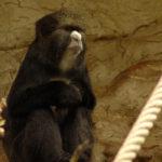 Greater Spot-Nosed Monkeys image