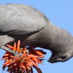Grey Loerie bird image