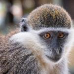 Grivet Monkeys image