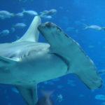 Galapagos Hammerhead Shark image