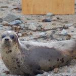 Harp Seal image