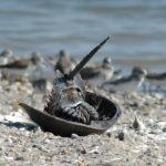 Horseshoe Crabs image