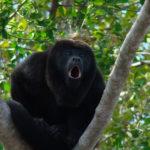 Howler Monkeys image