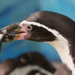 Humboldt Penguin image