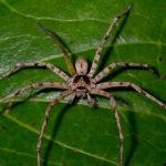 Huntsman Spider image