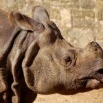 Indian Rhinoceros image