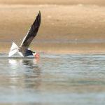 Indian Skimmer Bird image