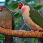 Jambu Fruit Dove image