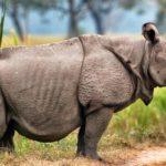 Javan Rhinoceros image
