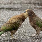 Kea Parrot image