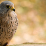 Kestrel Bird image