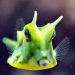 Longhorn Cowfish image