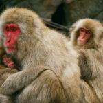 Macaque Monkeys image