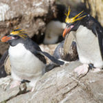 Macaroni Penguin image