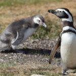 Magellanic Penguin image