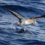 Manx Shearwater Bird image
