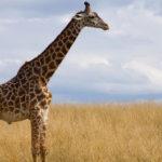 Masai Giraffe image