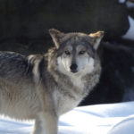 Mexican Wolf image