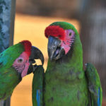 Military Macaw Parrot image