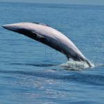 Galapagos Minke Whale image