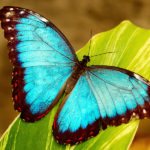 Morpho Butterfly image