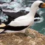 Galapagos Nazca Booby Bird image