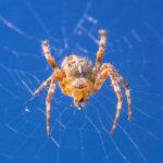 Orb Weaver Spiders image