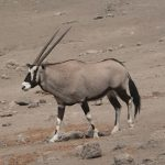 Oryx (Antelope) image