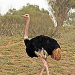 Ostrich Birds image