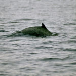 Pantropical Spotted Dolphins image