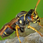 Paper Wasp image