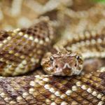 Rattlesnakes image