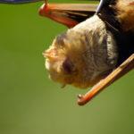 Galapagos Red Bat image