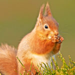 Red British Squirrel image