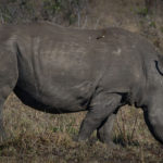 Rhinoceros image