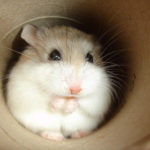 Roborovski Hamsters image