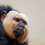 Saki Monkeys image