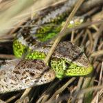 Sand Lizard image