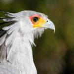 Secretary Bird image