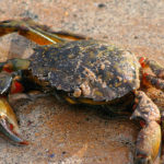 Green Crabs image