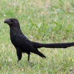 Galapagos Smooth Billed Ani Bird image