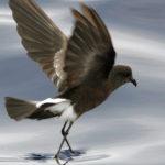 Galapagos Storm Petrel Bird image