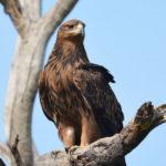 Tawny Eagle image