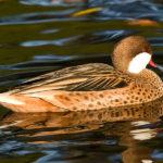 Galapagos White Cheeked Pintail Duck image