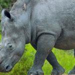 White Rhino image